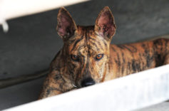 Cách huấn luyện chó Phú Quốc ngoan ngoãn nghe lời