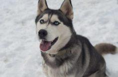Chó Husky và những loại bệnh mà Husky hay gặp phải